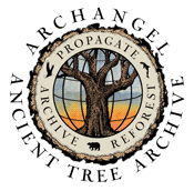 Archangel Ancient Tree Archive