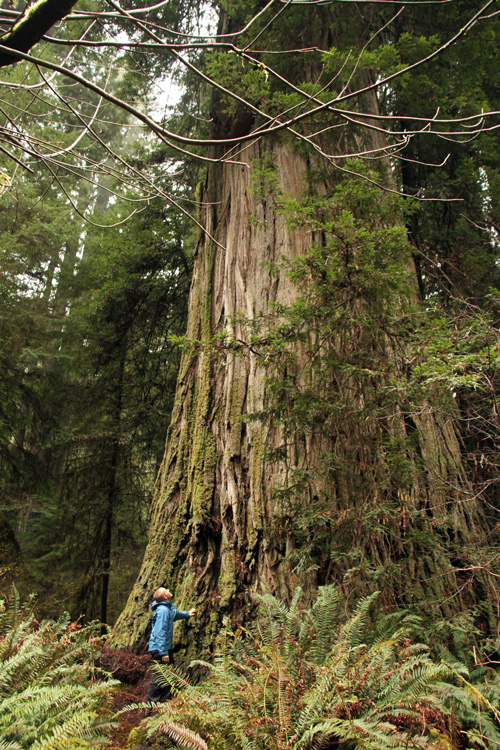 Champion Coast Redwood Tree