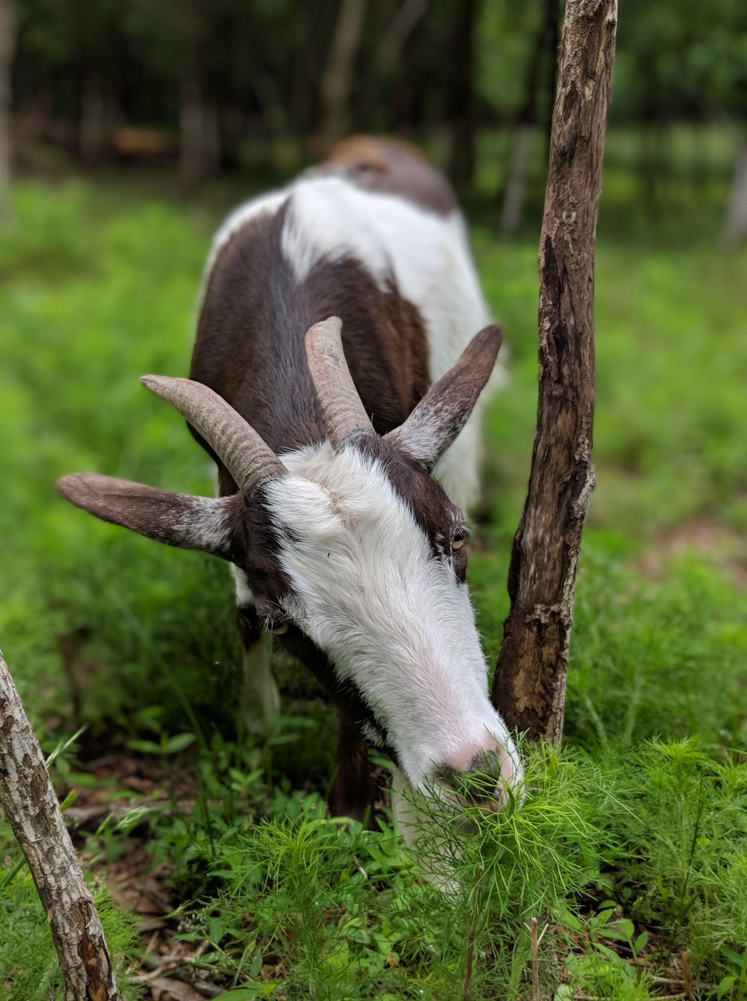 A brown a white goat eating grass